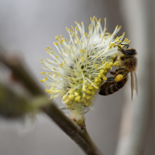 Blühendes Weidenkätzchen mit Honigbiene